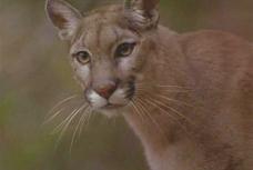 Kim-Bauer-Cougar